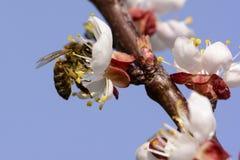 Abeille de miel travaillant à la fleur d'abricot Photographie stock
