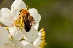 Abeille de plan rapproché recueillant le nectar des fleurs de cerisier de ressort avec la place pour votre texte Image libre de droits