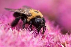 Abeille de pollination Photo stock
