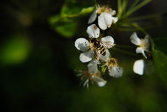 Abeille de ressort photo stock