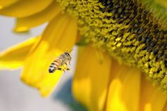 Abeille de tournesols Photo stock