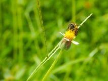 Abeille de travailleur recherchant le miel Photographie stock libre de droits