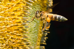 Abeille de travailleur recueillant le nectar des tournesols photos libres de droits