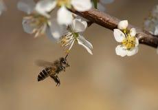 abeille de vol Photos libres de droits
