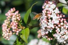 Abeille de vol avec du miel Image stock