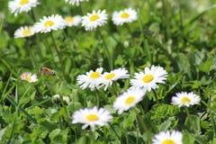 Abeille de vol d'abeille photographie stock