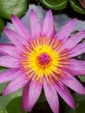 Abeille de vol sur un lotus Image libre de droits