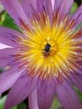 Abeille de vol sur un lotus Images libres de droits