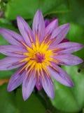 Abeille de vol sur un lotus Photos libres de droits