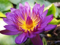 Abeille de vol sur un lotus Photos stock