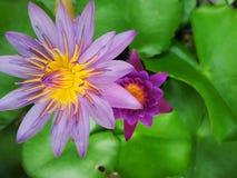 Abeille de vol sur un lotus Photographie stock