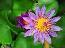 Abeille de vol sur un lotus Photo libre de droits