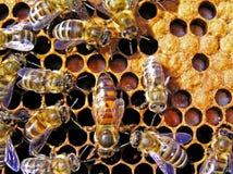 abeille derrière le travail de reine Photographie stock