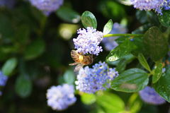 Abeille effectuant le dur labeur au printemps photos stock