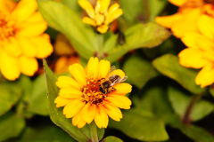 Abeille effectuant le dur labeur au printemps images libres de droits
