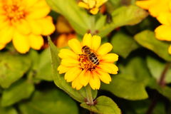 Abeille effectuant le dur labeur au printemps photographie stock