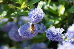 Abeille effectuant le dur labeur au printemps image stock