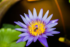 Abeille en fleur Images libres de droits