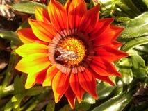 Abeille en fleur Photos stock