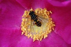 Abeille en fleur Photo stock