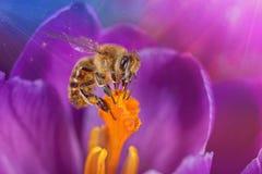 Abeille en fleur Photo libre de droits