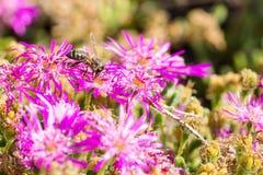 Abeille en fleur pourpre rassemblant le pollen photographie stock libre de droits