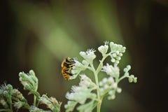 Abeille en fleurs Photo libre de droits