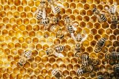 Abeille en nid d'abeilles photos libres de droits