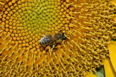 Abeille en tournesol Images libres de droits