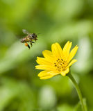 Abeille en vol Photographie stock