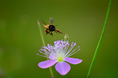 Abeille en vol Image stock
