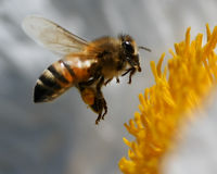 Abeille en vol Photo stock