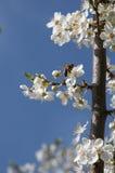 Abeille et Cherry Flowers - branche d'un arbre bloosoming de chery Photo stock