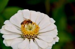 Abeille et fleur Image stock