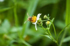 Abeille et fleur blanche Images stock