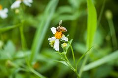 Abeille et fleur blanche Image libre de droits