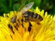 Abeille et fleur jaune Images libres de droits