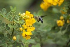 Abeille et fleur jaune Photos libres de droits