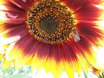 Abeille et fleurs Photographie stock libre de droits