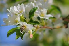 Abeille et fleurs blanches Images libres de droits