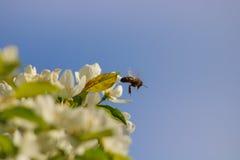 Abeille et fleurs blanches de pomme Photos stock