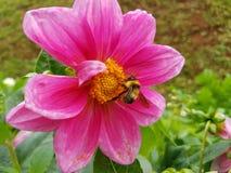 Abeille et fleurs de miel Image libre de droits