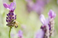 Abeille et lavande de miel Photos libres de droits