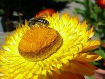 Abeille et Straw Flower Closeup images stock