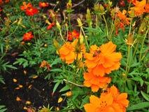 Abeille et sulphureus orange de cosmos Image libre de droits