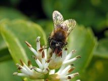 Abeille européenne de miel (mellifera d'api) photographie stock