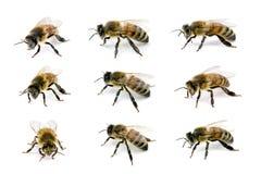 Abeille européenne ou occidentale de miel Photo stock