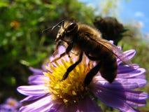 Abeille fonctionnante dure de miel Photos libres de droits