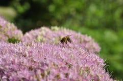 Abeille forageant sur Hylotelephium spectabile Photos stock