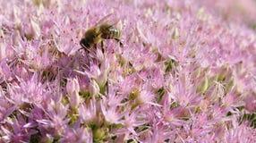 Abeille forageant sur Hylotelephium spectabile Photographie stock libre de droits